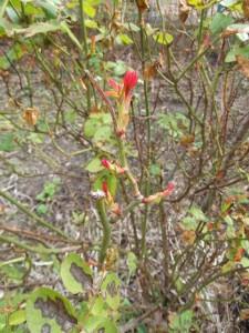 premières feuilles de rosier