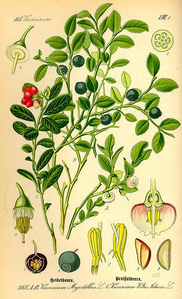 planche botanique tirée de Wikipedia